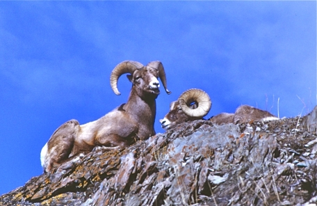Bighorn sheep habitually rest where they can view the surrounding terrain for potential predators. The autumn rut, which features dramatic head clashes amongst the rams, is an impressive sight.