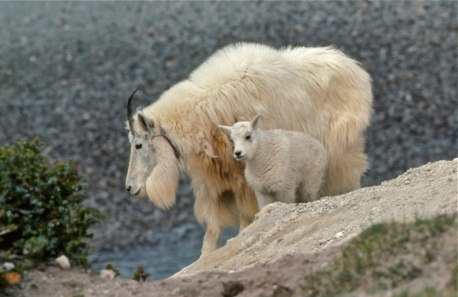 Mountain goats usually remain on high rocky crags and sparsely vegetated mountain slopes. They can occasionally be observed from close range each spring at mineral licks along Jasper's roadways.