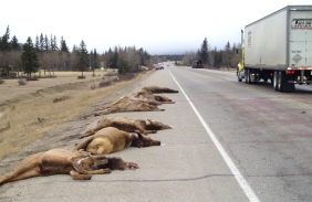 Speed and inattentiveness on park roadways can kill. A truck driver barrelled into these elk near the Palisades Training Centre, eight kilometres east of the town of Jasper.