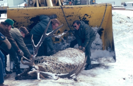Bull elk that demonstrate overt aggressiveness towards people during the autumn rut are often tranquilized and relocated away from human activity. From left to right, unidentified park employee, and Park Wardens Norm Woody, Rod Wallace and Gord Antoniuk.