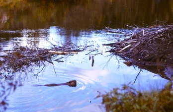 "Beavers, known as ""nature's engineers"", take raw materials (stones, logs, sticks, and mud) and convert them into complex lodges, canals, and dams that create diverse wetland ecosystems. The beaver's winter cache (food supply) is to the left of the family lodge."