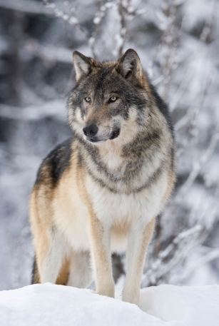 Wolves, a keystone species vital to a healthy ecosystem, are still culled indiscriminately throughout western Canada. Only in the national parks do they enjoy a relatively safe haven.