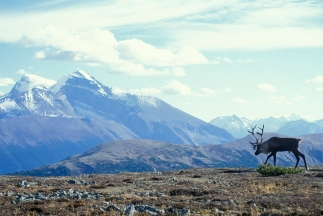 Woodland caribou populations in the Rocky Mountain national parks are in a state of precarious decline. They are listed as endangered by the Committee on the Status of Endangered Wildlife in Canada.