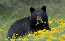 Black Bears habituate readily to the presence of humans and are commonly observed in the Rocky Mountain national parks.