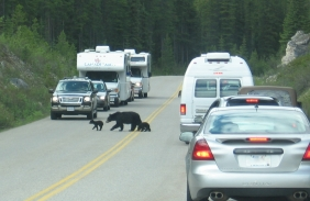 """Black bears and other wildlife frequent highway corridors as travel routes and to feed alongside them. When """"bear jams"""" occur, park visitors are advised to remain in their vehicles and proceed slowly."""