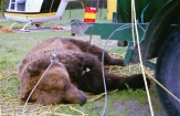 A grizzly sow we captured behind a bungalow camp in Jasper. We tranquilized the sow and her yearling cub (not seen in the photo) before placing them in a cargo net and slinging them under a helicopter for relocation to the backcountry.